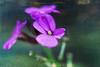 flowers, Sheringham (Cat Johnson) Tags: textures cmwdpinkpurple texturesbylesbrumes
