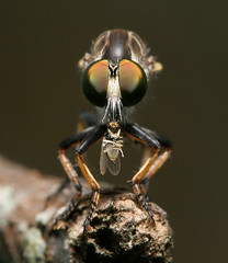 Lord Of The Flies (scott cromwell) Tags: macro closeup insect fly flies
