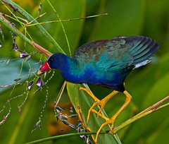 Purple Gallinule on and eating Alligator Flag (kevansunderland) Tags: birds everglades purpleswamphen gallinule swamphen purplegallinule wadingbirds birdphotography floridabirds alligatorflag greencaywetlands avianexcellence