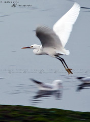 take off ( Fahad almnay3 \\\\) Tags: sea white bird beauty speed flying big amazing wings off shutter taking fahad   almunaya