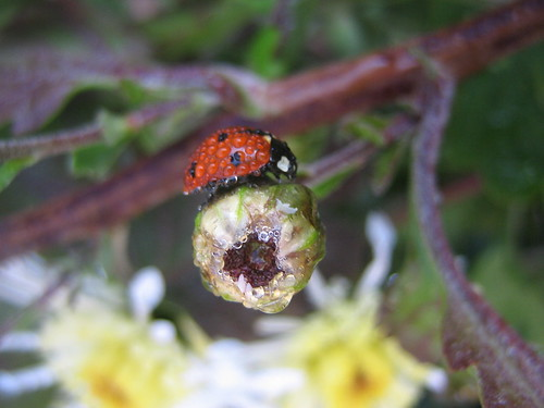 Dew Covered Lady Bug