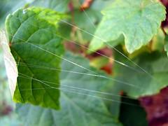 Spider silk (Lisa Mease) Tags: plant macro green nature closeup spider leaf web spiderweb silk spidersilk