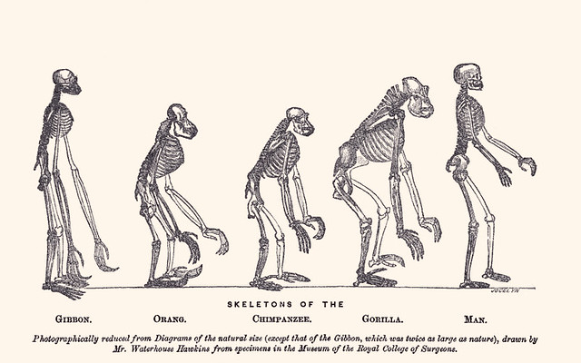 Waterhouse Hawkins, Skeletons of the Gibbon, Orang, Chimpanzee, Gorilla, man, frontispice de louvrage de Thomas Henry Huxley (1863).