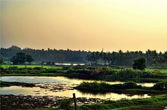 Swamp Land (Quaiattini) Tags: kerala swamp paddyfield flickraward5