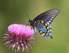 Thin-Film Interference (DrPhotoMoto) Tags: thistle northcarolina picnik richmondcounty tfi pipevineswallowtail battusphilenor ellerbe thinfilminterference wonderfulworldofmacro afjranch