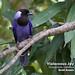 Violaceous Jay, Cyanocorax violaceus