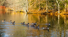 Geese (E. Aguedo) Tags: geese canada winter water wild bird animal sunrise lake forest trees providence rogers williams park