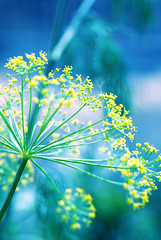 Monday in blue (Michaela Rother) Tags: blue macro yellow dill lens bokeh frankfurt monday 2009 nordend tamaron