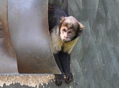 buffy headed capuchin (Clare Fellows) Tags: buffy headed capuchin chesterzoo