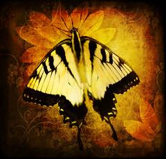 (EJMphoto) Tags: texture butterfly insect sensational easterntigerswallowtail mywinners memoriesbook platinumheartaward flickrlovers platinumpeaceaward trolledproud