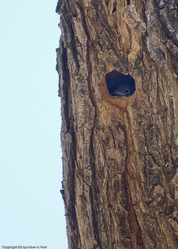 Western Bluebird nest by you.