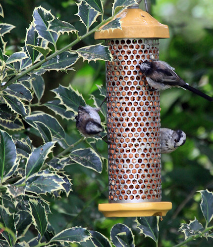 09-08-06 Long Tailed Tits
