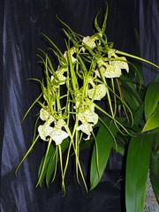Brassia Orchid