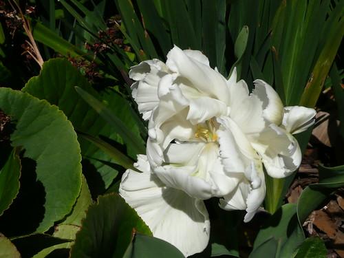 white parrot tulip2