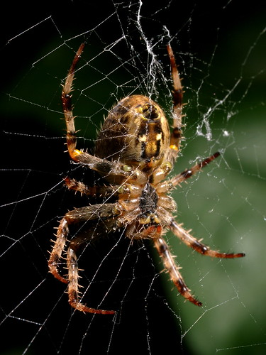 Garden Spider © Roger Butterfield