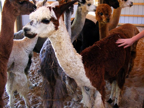 Wonder Why Alpacas