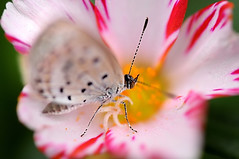 Portulaca & a Pale Grass Blue & Bokeh (naruo0720) Tags: fab plant flower macro nature closeup butterfly bug insect nikon soe portulaca d300 palegrassblue zizeeriamaha ヤマトシジミ ポーチュラカ ultimateshot flickrdiamond theunforgettablepictures