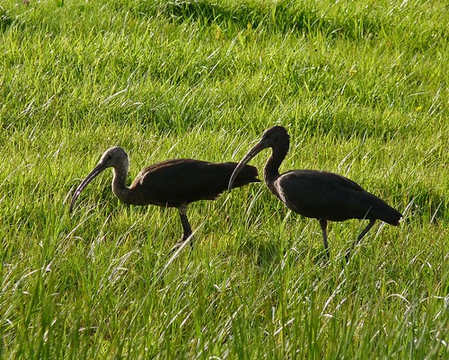P1020997 - Glossy Ibis at Pembrey Harbour