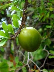 Hanging Fruit (Reinalasol) Tags: tree leaves fruit flickr panama 2009 chirriqui april2009 panama2009 reinalasol