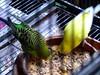 We're a Parakeets! (Reinalasol) Tags: lighting light birds flickr cage caged panama 2009 parakeets lightplay chirriqui april2009 panama2009 reinalasol