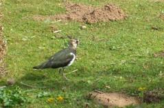 lapwing (Avid Maxfan) Tags: birds shropshire lapwing venuspool