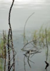 Echoes 2 (scottsturgeon) Tags: mist nature water sticks florida abigfave merrittislandnwr