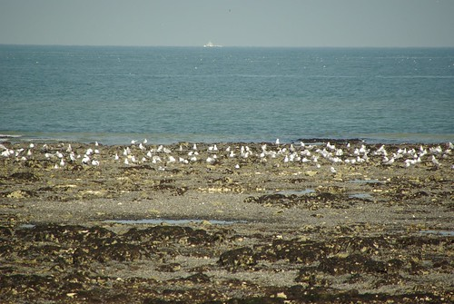 Gulls Rest at Low Tide - Foreness Bay