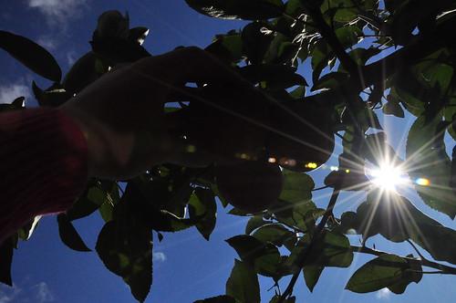 apple picking flare