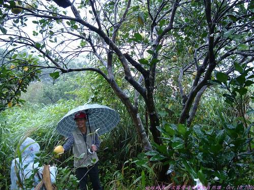 katharine娃娃 拍攝的 37累累果實的柚子樹。