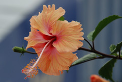 Flower - Hibiscus (alvinclsmy) Tags: flower hibiscus malaysia perak lightorange flowerspool telukintan flickrsbest nikond80 excellentsflowers alvinclsmy nearleaningtower