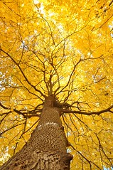 during the Fall (christiaan_25) Tags: morning autumn sunlight tree fall up yellow gold maple published glow explore bark trunk promise flickrblog 401 tistheseason mortonarboretum upatree naturesfinest blueribbonwinner yabbadabbadoo impressedbeauty treesdiestandingup 28october2009 bestof2009yellow capturemychicago2010