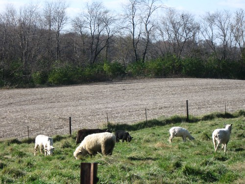 Sheep at Fae Ridge