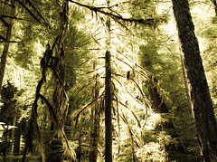 trees and such (Jeffrey Greeley) Tags: lakecushman olympicmountains staircaserapids