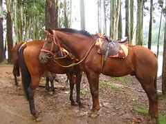 485. Just waiting (profmpc) Tags: horses brown lake forest waiting mpc munnar talltrees resrvoir saddled kundala