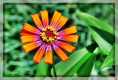 :)... `Desejo a todos uma tima semana!!!! ( Photography Janaina Oshiro ) Tags: orange flower macro verde nature japan digital natureza laranja flor japo nikond90 flickrdiamond janainaoshiro