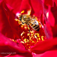 BEE ON RED ROSE FLAMES (Marquisa -) Tags: red macro rose yellow interestingness bokeh gorgeous details explore pollen frontpage incect marquisa explored explorefp svetlanavasiliadi russiantexas svetanphotography svetalanavasiliadi