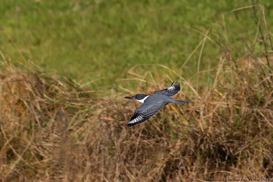 Belted-Kingfisher-11081