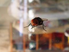 Varejeira (Filipe Bezerra) Tags: fly wasp mosca varejeira
