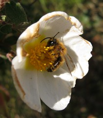 IMG_0576 (gdasko) Tags: mountain insects greece wildflowers ymittos