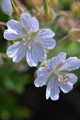 GERANIUM ibericum ssp. jubatum 'White Zigana'