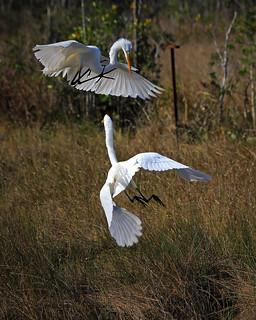 Egrets fighting