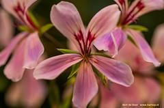 Flowers (Bert de Boer) Tags: flowers flower bertdeboer bertop bloemen bossen groen garden tuinbloemen
