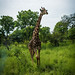 Giraf Senegal