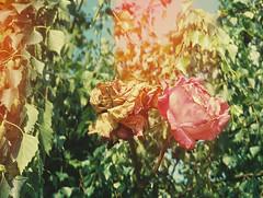 nostalgia (daveyp.) Tags: colour film rose 35mm dead big mini burn faded konica alive pointshoot 302 bigmini