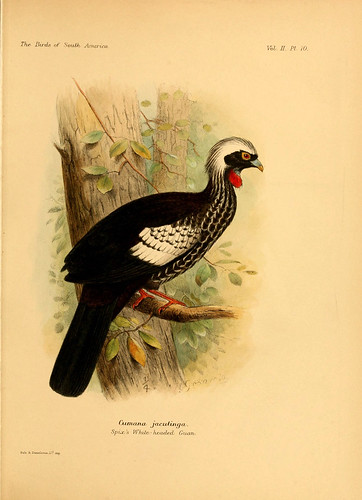 007- Jacupará-The birds of South America 1912