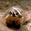 Badger_USFWS