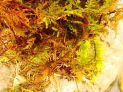 Iyo bonsai pot Ichirin Asagao-2