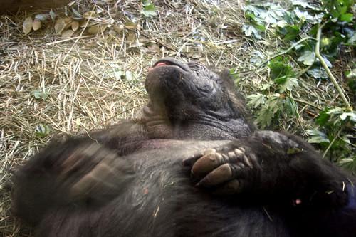 zoo gorilla