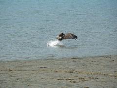 P1060647.JPG (wfischer) Tags: bald juneau eagles dipac