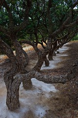 Mastic trees in south Chios (Image-Ex) Tags: greece chios